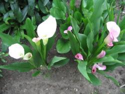 Каллы садовые и домашние: уход и особенности разведения.