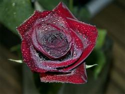 Роза Катарина