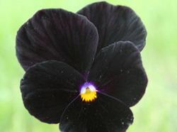 Чёрный цветок