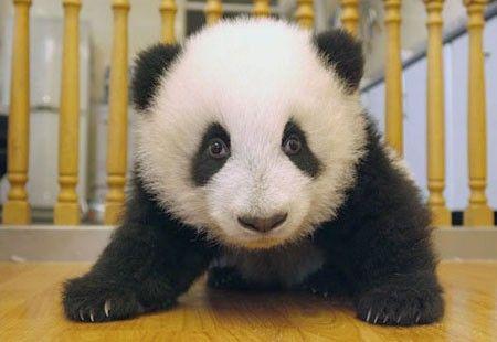 wpid kak rastet panda i 8 Как растет панда.