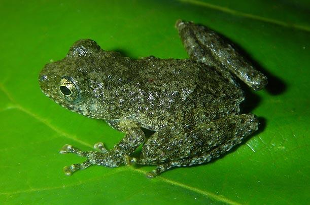 Rough-Coated Tree Frog