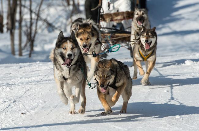 На Камчатке прошел «Елизовский спринт» на собачьих упряжках