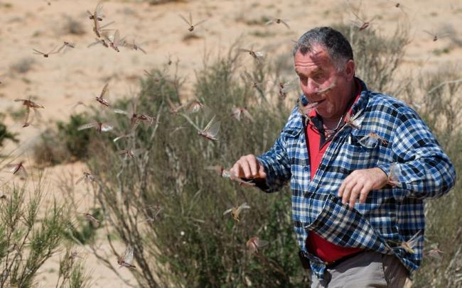 Египетская саранча атаковала Израиль